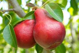 (5 gallon) Dwarf, MOONGLOW PEAR Tree. Good For Warmer Climates. Medium-size, Excellent Flavor and Ripens Early