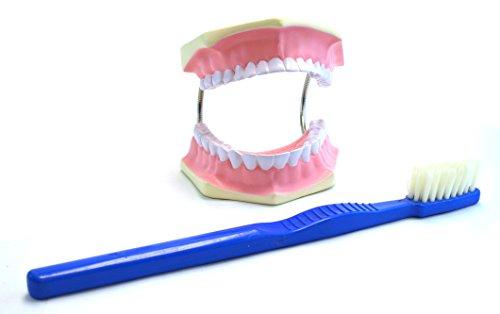 eisco Labs gigante Dental Modelo de atención, dientes y encías con gigante para cepillo de dientes, 3 veces vida tamaño: Amazon.es: Amazon.es