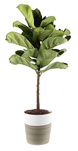 Costa Farms Fiddle Leaf Fig Live Indoor Ficus Lyrata, 4-Foot, White -Natural Textured Décor Planter (Best Soil For Fiddle Leaf Fig)