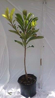 Ross Sapote Live Fruit Tree 7 Gal, 5 ft grafted Plant by Varieties (Image #1)