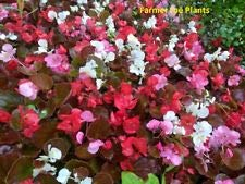 Begonia - FIBEROUS - Bronze Leaf - Mix Color - 6 Plugs - Live Starter Plants
