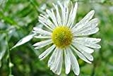 Boltonia asteroides Snowbank 500 seeds