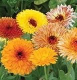 500 Mixed Colors FANCY MIX POT MARIGOLD Calendula Officinalis Flower Seeds