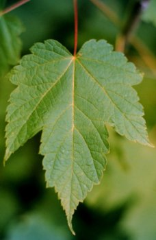 Amazoncom Acer Spicatum Mountain Maple Seeds Maple Trees