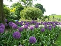 Allium giganteum - Ornamental Onion Bulbs IR Plants & gardens