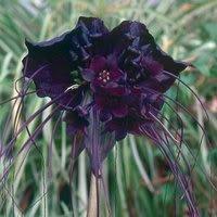 TACCA CHANTRIERI Black Bat flower 20 seeds by Seeds and - Plant Bat