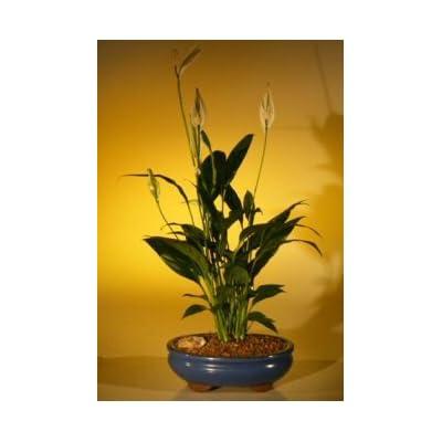 Bonsai Boy's Flowering Peace Lily Bonsai Tree spathiphyllum : Bonsai Plants : Grocery & Gourmet Food