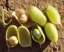 1000 Usa Di Lady gmo Canning Roma Tomatoes ~ Organic Tomato Seeds Mg 350ct Non Production Fash Tq4BxZw5q