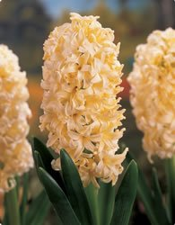 Hyacinth - Yellow Queen Fall Flower Bulb - Pack of Three
