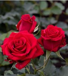 120 Real Fresh Spray Rose Fire King by FarmDirect