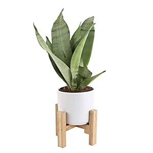 Costa Farms Snake Plant, Sansevieria, with 4.25-Inch Wide Mid-Century Modern Planter and Plant Stand Set, White, Fits on Shelves/Tabletops 83