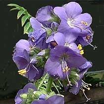 100 BLUE PEARL POLEMONIUM (Jacobs Ladder) Polemonium Coeruleum Flower Seeds