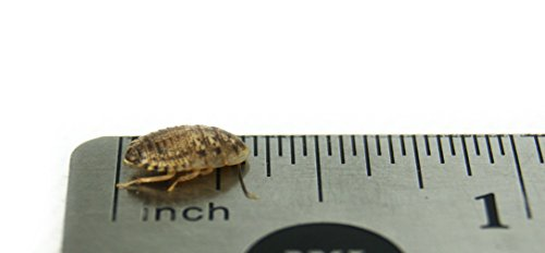 "1/4"" Dubia Roaches (1000 Count)"