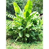 2 Musa Basjoo Banana Tree/ Hardy Banana Tree in 4 Inch Pots (2 Four Inch Pots with a Banana Starter Plant in Each Pot)