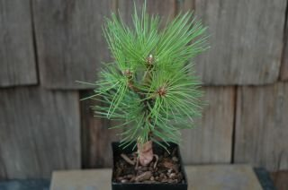 Tree Bonsai Pine White (Mikawa Japanese Black Pine 2 - Year Seedling)