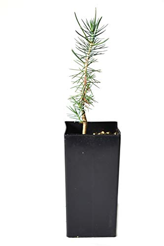 (TreesAgain Potted Pinyon Pine Tree - Pinus edulis - 4 to 9+ inches (See State)