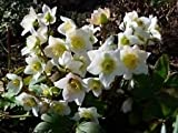 Helleborus niger LENTEN ROSE - EVERGREEN LEAVES Seeds!