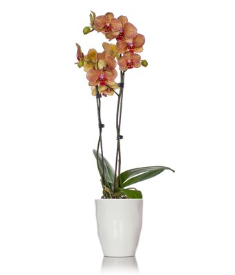 From You Flowers - Yellow & Red Stripe Orchid by From You Flowers