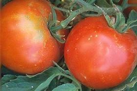 Tomato Tropic VFN 1,000 seeds