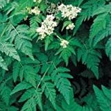 Herb Seeds - Sweet Cicely - 20 Seeds
