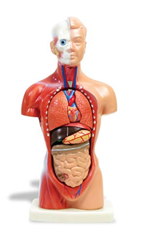 American Educational 25cm Mini Torso Model