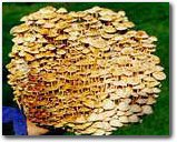 Grow Shiitake Mushrooms (The Enokitake Mushroom Garden Patch- Indoor Mushroom Growing Kit - Grow Edible Mushrooms & Fungi. Easy & Fun Mush Room Grow Kits)