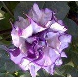 Purple Moonflower / Datura Metel seeds 5 SEEDS NICE!