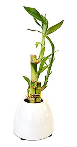 9GreenBox - Lucky Bamboo - White Ceramic Pot