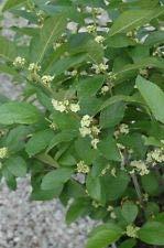 - 'Southern Gentleman' Winterberry Holly - Ilex - Hardy