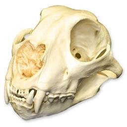 Cheetah Skull (Teaching Quality Replica)
