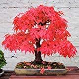 (100% True Japanese Red Maple Tree Seeds Garden Bonsai Beautiful Indoor Potting Plant 30 Seeds pack Bonsai)