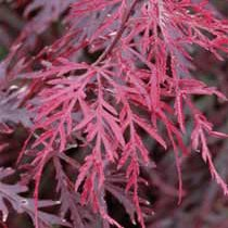 SCARLET PRINCESS DWARF JAPANESE MAPLE - A NEW RED VARIETY - Acer palmatum 'Scarlet Princess' - 1 - YEAR TREE by Japanese Maples and Evergreens (Image #2)