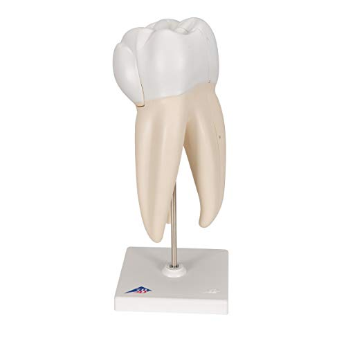 3B Scientific D10/5 3 Part Upper Triple-Root Molar Model