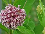 100 Pink Common Milkweed Flower Seeds