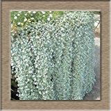 1 Pack profesional 200 Piezas Dichondra Repens Semillas de césped plantas de jardín decorativo semillas de flor de hierba dinero semillas colgantes SVI