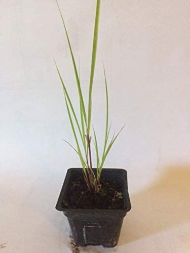 Amazon Com Lemongrass Plant 3 Seperate In 2 25 Inch Size Non