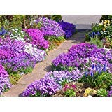 1000 Rock Cress Seeds - Royal Mix (Aubrieta Hybrida) compact, ground cover