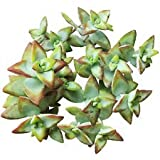 Crassula Rupestris High Voltage Bead Vine Rosary Vine Chinese (4 inch Pot)