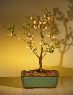 Bonsai Boy's Japanese Flowering Cherry Bonsai Tree prunus serrulata
