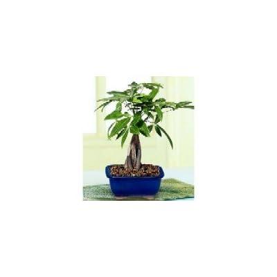 2CHIXGIFTS 5-BRAIDED MONEY TREE : Bonsai Plants : Grocery & Gourmet Food