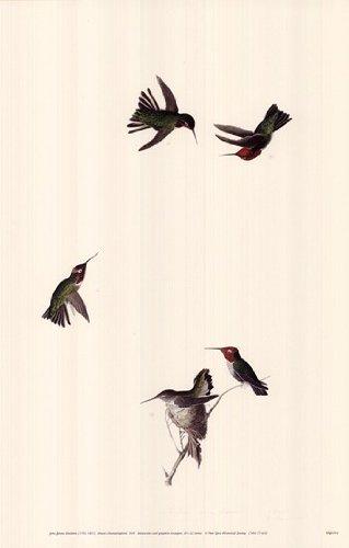 Anna's Hummingbird - Poster by John James Audubon (11x17)