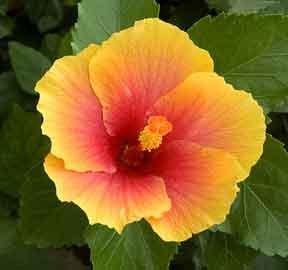 Hardy Hibiscus - Sunshine Hardy Hibiscus Seeds - 20+ Seeds