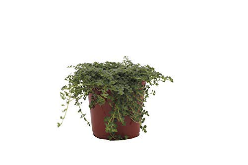 Thyme 'Elfin' Herb Plant (Pack of 12) by Dutch Country Classics (Image #3)
