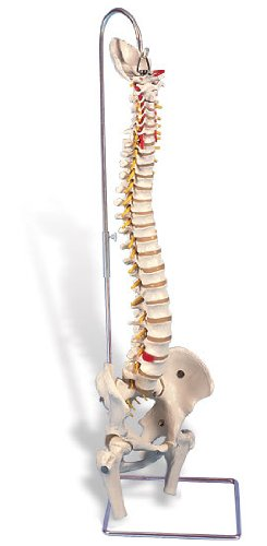 3B社 脊柱模型 脊柱可動型モデル金属管使用タイプ大腿骨付 (a59-2)   B003Z2TOMU