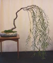 Weeping Willow Tree Roots (Bonsai Weeping Willow Tree - Large Thick Trunk - Mature Bonsai Look Fast - Beautiful Arching Branches)