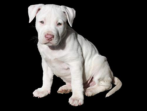 Pit Bull Posters - Home Comforts Laminated Poster Pit Bull Cute Pitbull Puppy Dog White Vivid Imagery Poster Print 11 x 17