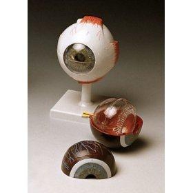 Classic Human Eye Model by Anatomical Chart Company