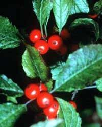 - Ilex verticillata: Common Winterberry Seeds
