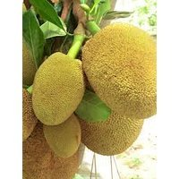 JACKFRUIT SEEDS 10 Seeds/pack - Giant Jackfruit by Enjoy_Shop Jade's