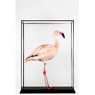 Taxidermy Chilean Flamingo in an all glass case | eBay